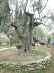 Olive Tree at Gethsemane