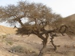 Tree by a stream in the Negev.