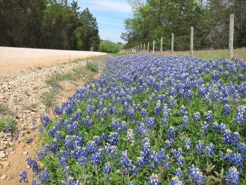 Bluebonnets Country Road