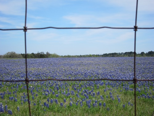 Bluebonnets Wire Fence