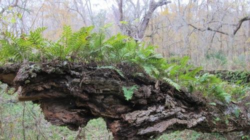 Ferns on Trunk