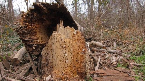 Termite Tree