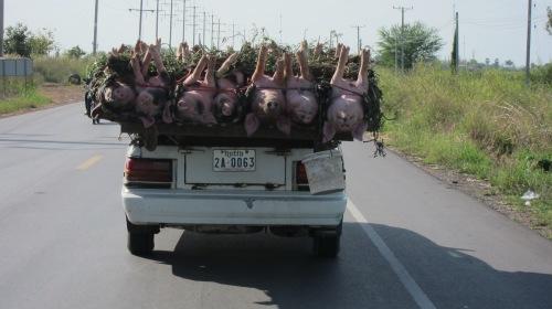 Bringing home the bacon! | 09 Nov 13 | En route to Poipet, Cambodia